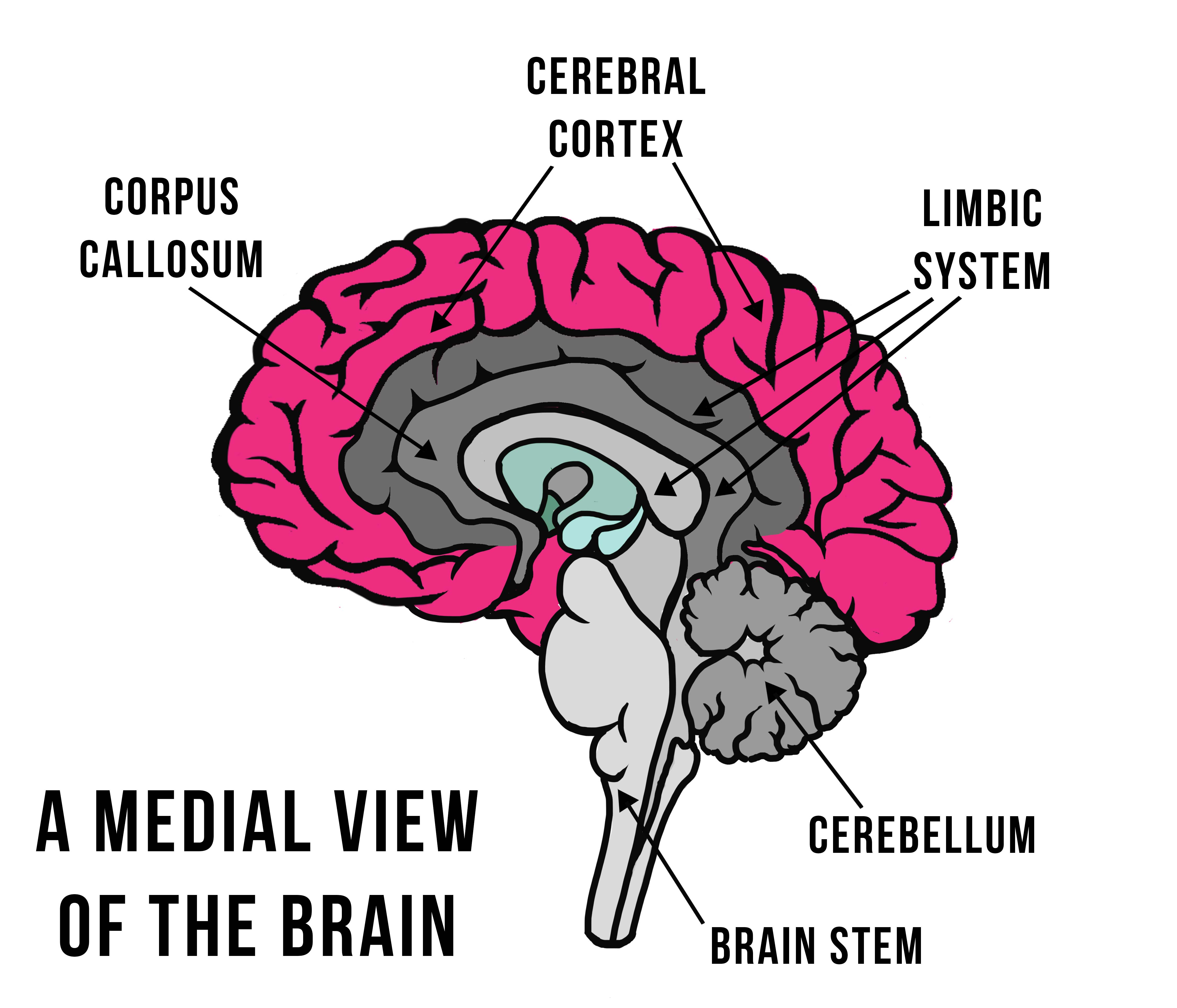 Your Self Series | Your nervous system: the brain and ...